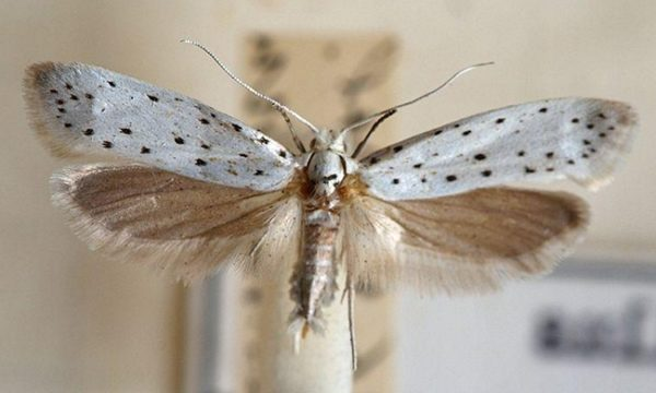 Горностаевая моль с расправленными крыльями