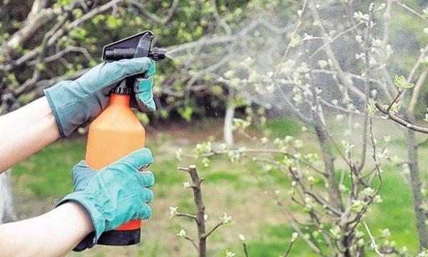 Обработка яблони от вредителя